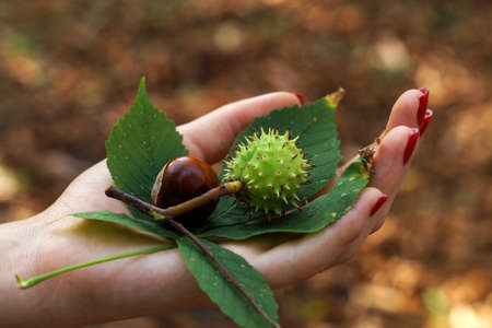 tender tenderness: Two chestnuts and chestnut leaf in girls hand Stock Photo