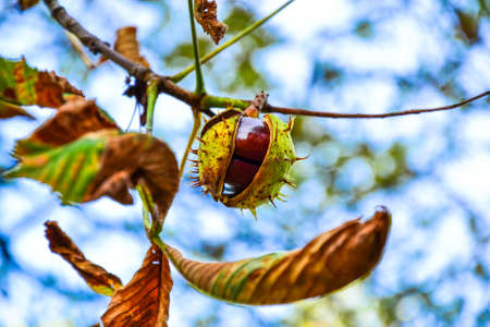 ajar: Ajar chestnut growing on the tree in front of blue sky Stock Photo
