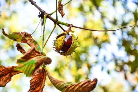 ajar: Ajar chestnut growing on the tree in front of blurred  background