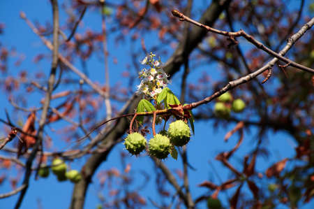 simultaneously: Chestnuts and chestnut flower growing on the same branch in front of blue sky