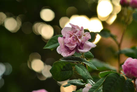 fading: Beautiful fading rose in front of blurred sunset after rain