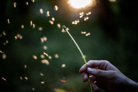 Person holding dandelion in hand blowing it away making a wish Stockfoto