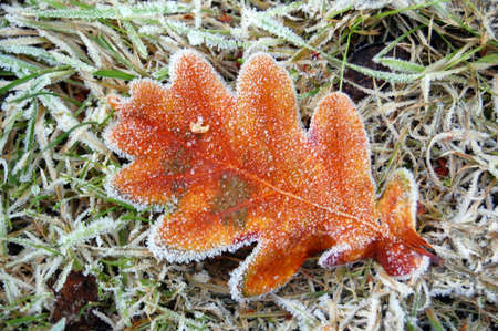 frosted oak leaf in garden