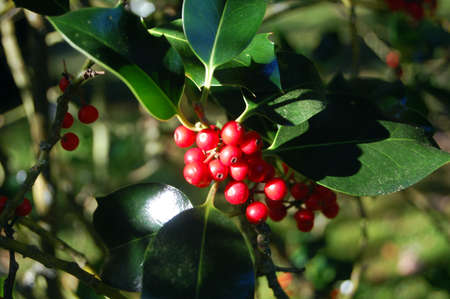 holly bush and berries outdoors photo