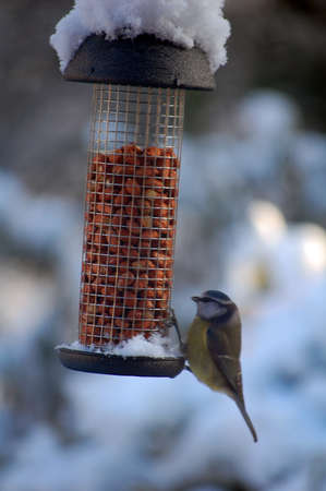 bird feeder: blue tit on peanut feeder in winter snow Stock Photo