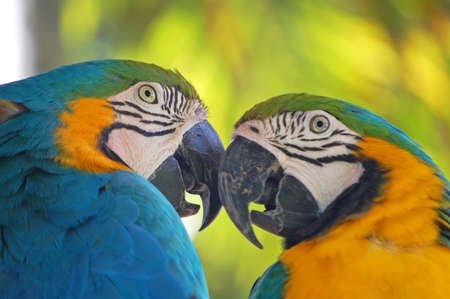 two parrots: close up of a pair of blue and yellow macaws