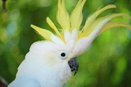 crested: endangered yellow crested cockatoo displaying its crest