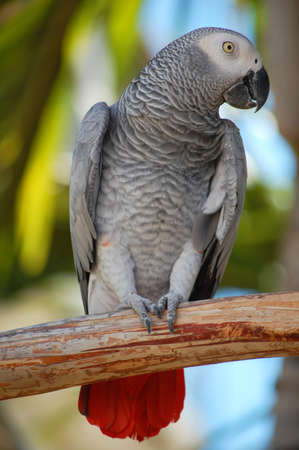 close up of african grey parrot outdoors photo
