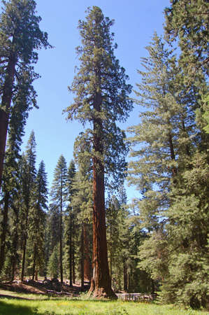 The General Sherman tree, the largest tree in the world
