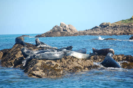 scilly: group of atlantic grey seals in scilly isles Stock Photo