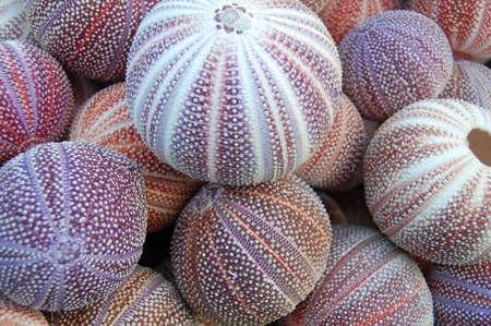 urchin: close up of sea urchin tests Stock Photo