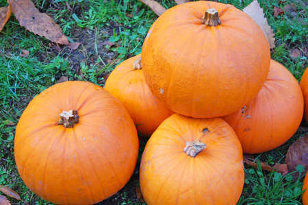 pumpkins harvested in autumn Stock Photo - 13724539