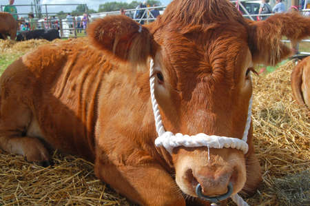 tethered: cute cow tethered at agricultural show