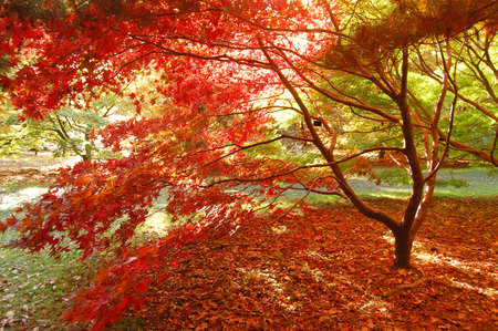 dappled: japanese maple in the autumn in dappled light
