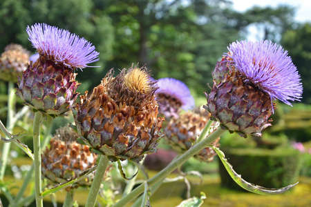 close up of giant thistles with blurred thistles are the floral emblem of Scotland photo