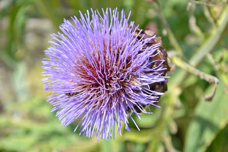 close up of a thistle with blurred background - the thistle is the floral symbol of Scotland photo