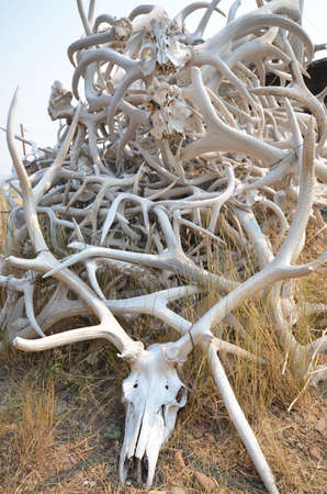 elk antlers and skulls piled up