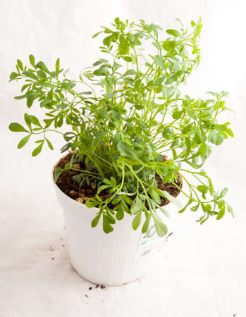 Small plant of rue ready to be planted in the studio with white background.