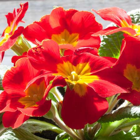 details of primroses plants in indoor, ambient light Stock Photo
