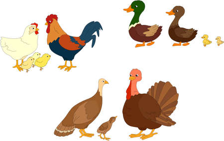 pollitos: Conjunto de pato, pato, Drake, gallo, gallina, pollos, pavos madre, padre y poult. ilustración vectorial para los niños Vectores