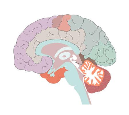 Las estructuras cerebrales y las ubicaciones del núcleo basal. Ilustración de vector