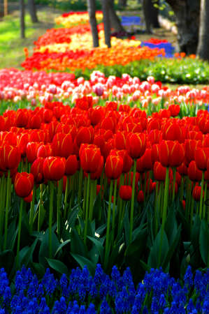 tulip field in a spring festival park                          Stock Photo