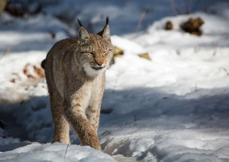 lynx: Pictures of a lynx Stock Photo