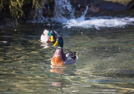 pato real: Picture of a mallard duck