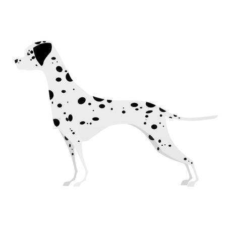dalmatian: Adorable young Dalmatian, standing in profile of white background