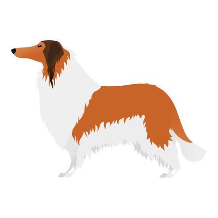 collie: Isolated elegant large Collie dog on white background