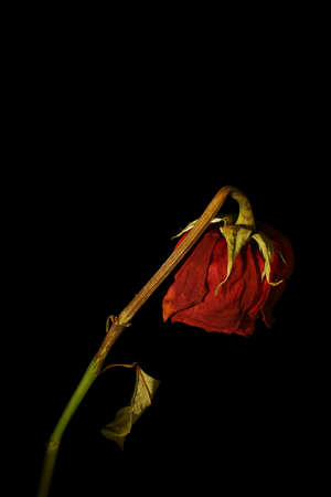 death and dying: A wilting rose signifies lost love, divorce, or a bad relationship Stock Photo