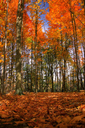 Trees and leaves blazing with autumn colors photo