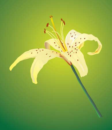 Un giglio giallo. Vector illustration