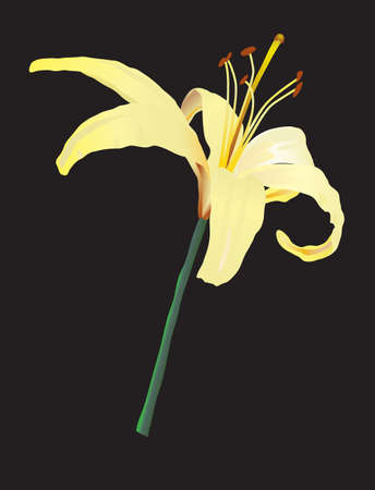Yellow lily. Vector illustration Vector