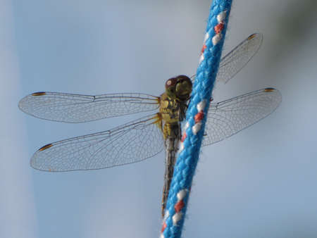 predatory insect: Dragonfly on a rope spreading wings