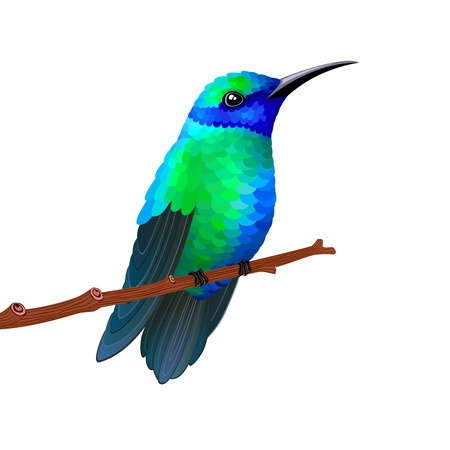 Hummingbird isolated on white background  Vector