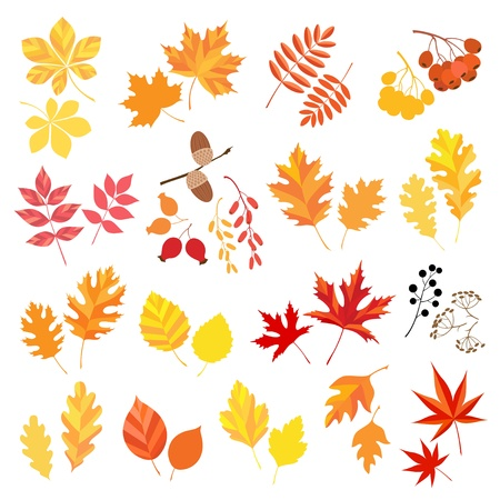 oak leaves: Collection of autumn leaves and berries   Illustration