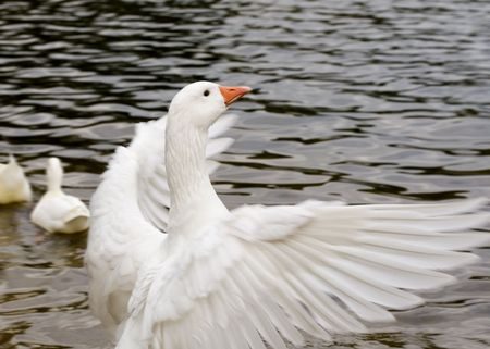 swan pair: a white goose flapping its wings
