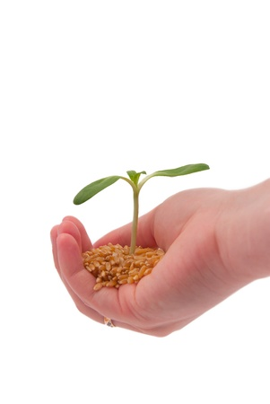 Young sprout in the hand, isolated on a white background photo