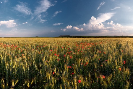 Field of wheat with poppies and the beautiful sky photo