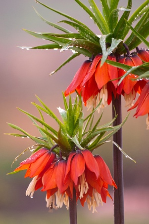 Orange crown imperial flowers (Fritillaria imperialis) with rain drops