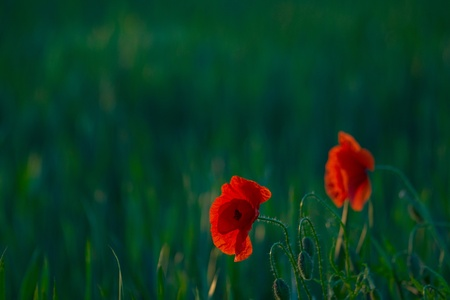 Two picturesque poppies, against a green field Stock Photo - 12434902