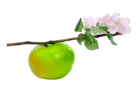 Green apple on branch with blossom flower isolated on white background Stock Photo - 13826321