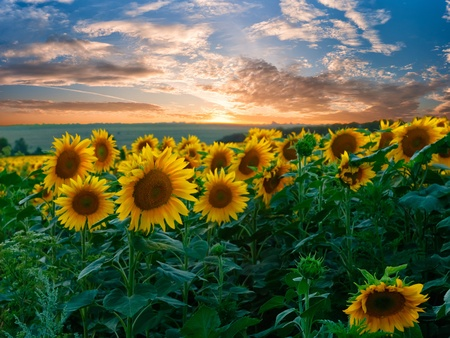 Summer beauty landscape with colorful sunset over sunflowers field photo