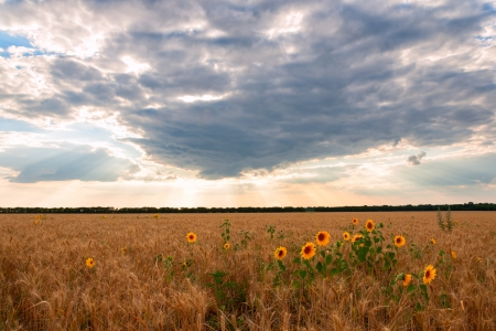 Beautiful summer landscape with wheat field and sunflower Stock Photo