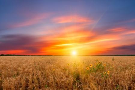 Beautiful landscape a summer wheat field with majestic sunset and sunflower Фото со стока