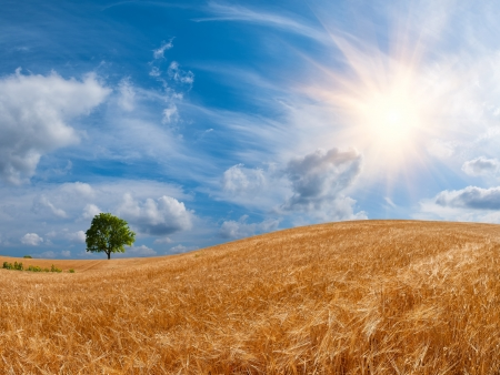 Wheat field with a tree on the horizon and the sun in the beautiful sky Stock Photo - 14646961
