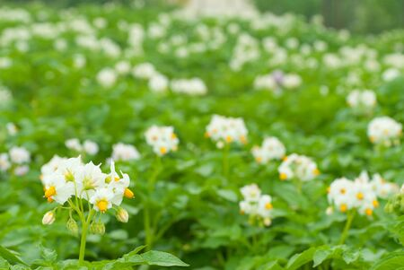 Blossom of potatoes white flowers in the field, selective focus photo