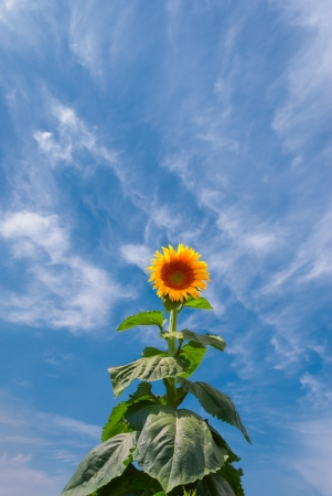 Big bush of a sunflower on the blue sky background with clouds photo