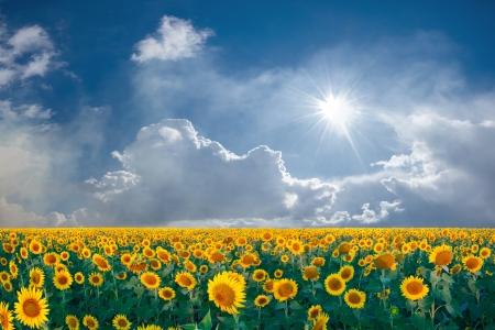 Paysage d'été avec le champ de tournesols beautyful grand et le ciel bleu avec des nuages